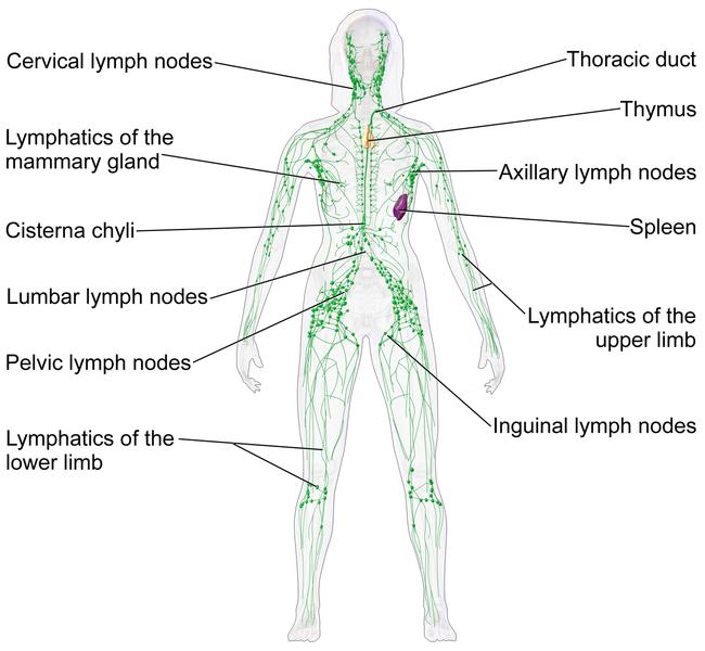 Lerntext Lymphsystem