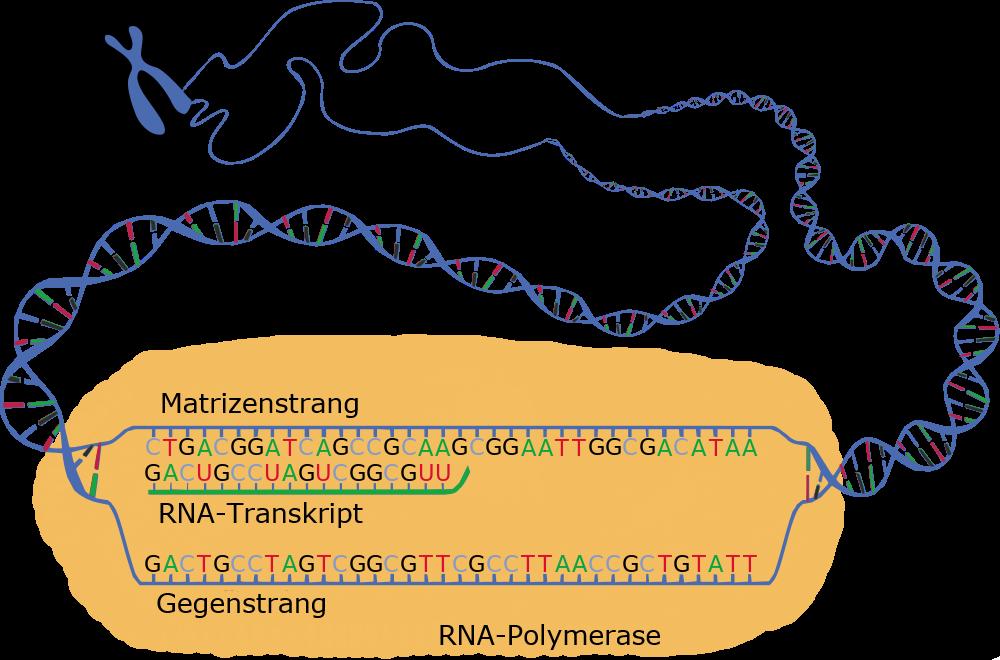 Lerntext Genetik für die gymnasiale Jahrgangsstufe 9